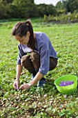 DOMINIQUE BLANCHARD SAFFRON FARM  LOIRE VALLEY FRANCE: DOMINIQUE PICKING CROCUS SATIVUS IN HER FIELD