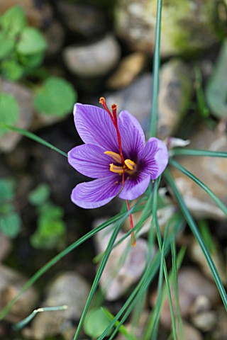 DOMINIQUE_BLANCHARD_SAFFRON_FARM__LOIRE_VALLEY_FRANCE_CLOSE_UP_OF_SAFFRON_CROCUS__CROCUS_SATIVUS