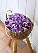 DOMINIQUE BLANCHARD SAFFRON FARM  LOIRE VALLEY FRANCE:  A BASKET OF FRESHLY PICKED CROCUS SATIVUS