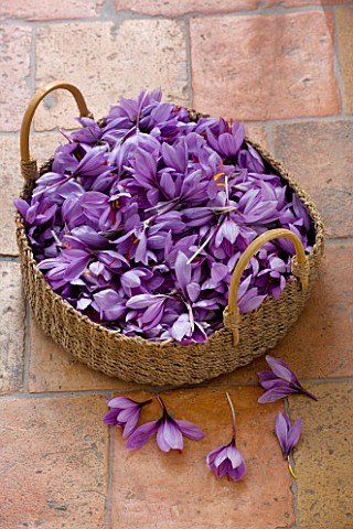 DOMINIQUE_BLANCHARD_SAFFRON_FARM__LOIRE_VALLEY_FRANCE__A_BASKET_OF_FRESHLY_PICKED_CROCUS_SATIVUS