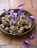 DOMINIQUE BLANCHARD SAFFRON FARM  LOIRE VALLEY FRANCE:  A BASKET OF CROCUS SATIVUS BULBS