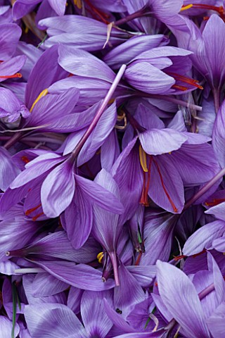 DOMINIQUE_BLANCHARD_SAFFRON_FARM__LOIRE_VALLEY_FRANCE_FRESHLY_PICKED_CROCUS_SATIVUS