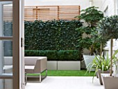 BASEMENT GARDEN MONTAGUE SQUARE  LONDON  DESIGNED BY AMIR SCHLEZINGER OF MY LANDSCAPES: BASEMENT GARDEN WITH TROCHODENDRON ARALIODES  SCREEN OF HEDERA WOERNER  OLEA LOLLIPOPS