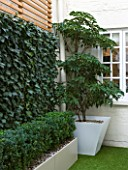BASEMENT GARDEN MONTAGUE SQUARE  LONDON  DESIGNED BY AMIR SCHLEZINGER OF MY LANDSCAPES: BASEMENT GARDEN WITH TROCHODENDRON ARALIODES  SCREEN OF HEDERA WOERNER