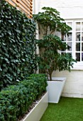 BASEMENT GARDEN MONTAGUE SQUARE  LONDON  DESIGNED BY AMIR SCHLEZINGER OF MY LANDSCAPES: TROCHODENDRON ARALIODES IN CONTAINER AND SCREEN OF HEDERA WOERNER