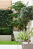 BASEMENT GARDEN MONTAGUE SQUARE  LONDON  DESIGNED BY AMIR SCHLEZINGER OF MY LANDSCAPES: CONTAINERS OF TROCHODENDRON ARALIODES  OLEA LOLIPOPS  PHORMIUM  SCREEN OF HEDERA WOERNER