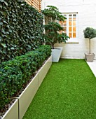 BASEMENT GARDEN MONTAGUE SQUARE  LONDON  DESIGNED BY AMIR SCHLEZINGER OF MY LANDSCAPES: TROCHODENDRON ARALIODES IN CONTAINER AND SCREEN OF HEDERA WOERNER. ARTIFICIAL GRASS