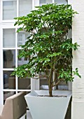 BASEMENT GARDEN MONTAGUE SQUARE  LONDON  DESIGNED BY AMIR SCHLEZINGER OF MY LANDSCAPES: TROCHODENDRON ARALIODES IN CONTAINER