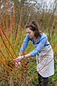 COMMON FARM FLOWERS. SOMERSET: EMILY CUTS AND GATHERS BUNDLES OF PLIABLE CORAL BARK WILLOW FROM THE FARM READY FOR FESTIVE WREATH-MAKING.