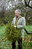 COMMON FARM FLOWERS. SOMERSET: FABRIZIO BOCCHA GATHERS BALLS OF MISTLETOE FROM THE FARM  VISCUM ALBUM
