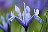 CLOSE UP OF IRIS RETICULATA AT JACQUES AMAND  MIDDLESEX: IRIS RETICULATA KUH - E - ABR
