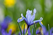 CLOSE UP OF IRIS RETICULATA AT JACQUES AMAND  MIDDLESEX: IRIS RETICULATA KUH - E - ABR - IST DISCOVERED IN IRAN IN 1977