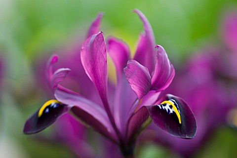 CLOSE_UP_OF_IRIS_RETICULATA_AT_JACQUES_AMAND__MIDDLESEX_IRIS_RETICULATA_GEORGE