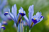 CLOSE UP OF IRIS RETICULATA AT JACQUES AMAND  MIDDLESEX: IRIS RETICULATA CAROLINA