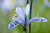 CLOSE UP OF IRIS RETICULATA AT JACQUES AMAND  MIDDLESEX: IRIS HISTRIOIDES VAR   AINTABENSIS