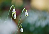 SNOWDROPS AT COLESBOURNE PARK  GLOUCESTERSHIRE: GALANTHUS TOMOKO