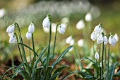 SNOWDROPS AT COLESBOURNE PARK  GLOUCESTERSHIRE: GALANTHUS LORD LIEUTENANT