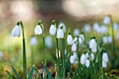 SNOWDROPS AT COLESBOURNE PARK  GLOUCESTERSHIRE: GALANTHUS BRENDA TROYLE