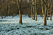 WELFORD PARK, BERKSHIRE: DRIFTS OF SNOWDROPS IN THE WOODLAND IN FEBRUARY - WINTER, WHITE, FLOWERS, FLOWERING, DRIFT, SHEET, GALANTHUS, BULB, BULBS, EARLY SPRING, TREES, LANDSCAPE
