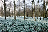 WELFORD PARK, BERKSHIRE: DRIFTS OF SNOWDROPS IN THE WOODLAND IN FEBRUARY - WINTER, WHITE, FLOWERS, FLOWERING, DRIFT, SHEET, GALANTHUS, BULB, BULBS, EARLY SPRING, TREES