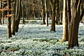 WELFORD PARK, BERKSHIRE: DRIFTS OF SNOWDROPS IN THE WOODLAND IN FEBRUARY - WINTER, WHITE, FLOWERS, FLOWERING, DRIFT, SHEET, GALANTHUS, BULB, BULBS, EARLY SPRING