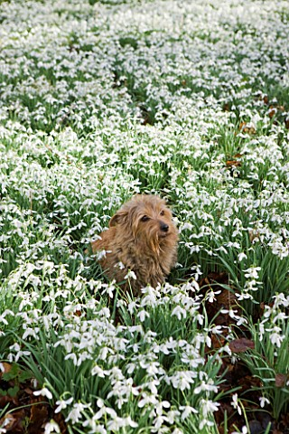 WELFORD_PARK_BERKSHIRE_PET_DOG_IN_THE_SNOWDROPS_IN_THE_SNOWDROP_WOOD_AT_WELFORD_PARK__PET_FEBRUARY_G