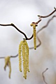 ANGLESEY ABBEY  CAMBRIDGESHIRE: CATKINS OF CORYLUS AVELLANA CONTORTA - THE CORKSCREW HAZEL - IN THE WINTER GARDEN