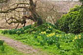 ANGLESEY ABBEY  CAMBRIDGESHIRE: NARCISSUS GROWING IN GRASS BESIDE TREE