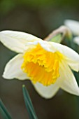 ANGLESEY ABBEY  CAMBRIDGESHIRE: NARCISSUS EARLY BRIDE