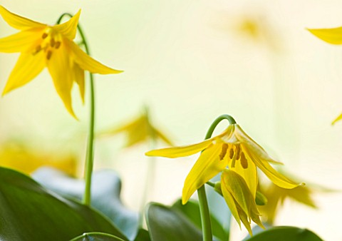 TWELVE_NUNNS__HARVINGTON_ERYTHRONIUM_TOLUMNENSE_SPINDLESTONE