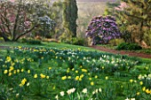 MARWOOD HILL  DEVON: DAFFODILS AND RHODODENDRON ARBOREUM