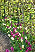 ARUNDEL CASTLE GARDENS  WEST SUSSEX: THE COLLECTOR EARLS GARDEN: THE ORGANIC KITCHEN GARDEN WITH ESPALIERED APPLE TREES AND TULIPS NEGRITA AND TULIP WILDHOF