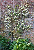 ARUNDEL CASTLE GARDENS  WEST SUSSEX: THE COLLECTOR EARLS GARDEN: FAN TRAINED PEAR IN BLOSSOM AGAINST WALL OF KITCHEN GARDEN