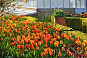 ARUNDEL CASTLE GARDENS, WEST SUSSEX: THE WALLED GARDENS: BOXED BEDS WITH TULIP APELDOORNS ELITE BESIDE THE GREENHOUSE IN THE CUTTING GARDEN