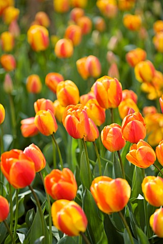 ARUNDEL_CASTLE_GARDENS_WEST_SUSSEX_THE_WALLED_GARDENS_TULIP_APELDOORNS_ELITE__