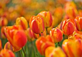 ARUNDEL CASTLE GARDENS, WEST SUSSEX: THE WALLED GARDENS: TULIP APELDOORNS ELITE