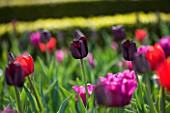 ARUNDEL CASTLE GARDENS, WEST SUSSEX: THE WALLED GARDENS: THE CUTTING GARDEN WITH DAILY NEWS MIX OF TULIP PAUL SCHERER , PASSIONALE AND BASTOGNE