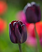ARUNDEL CASTLE GARDENS, WEST SUSSEX: THE WALLED GARDENS: THE CUTTING GARDEN - CLOSE UP OF TULIP PAUL SCHERER