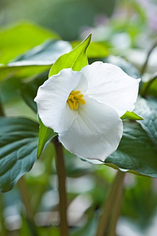 CLOSE_UP_OF_TRILLIUM_GRANDIFLORUM_WISCONSIN