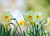 COUGHTON COURT  WARWICKSHIRE: RARE THROCKMORTON DAFFODIL NARCISSI STAR WISH. WHITE FLOWER  BULB  SPRING  EASTER
