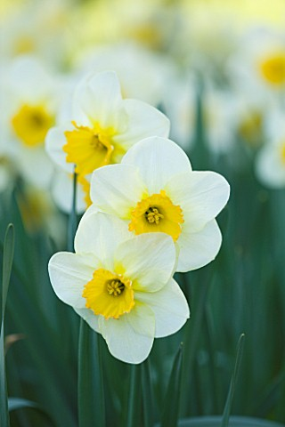 COUGHTON_COURT__WARWICKSHIRE_RARE_THROCKMORTON_DAFFODILS_NARCISSI__WHITE_AND_YELLOW_FLOWERS__EASTER_