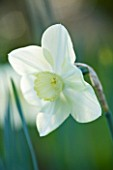 COUGHTON COURT WARWICKSHIRE: RARE WHITE CUPPED THROCKMORTON DAFFODIL NARCISSI FLIGHT. WHITE FLOWER  SPRING  BULB  EASTER  PURITY  PURE  ELEGANCE  CALM  SERENITY  CLOSE UP  PORTRAIT