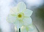 COUGHTON COURT  WARWICKSHIRE:RARE WHITE CUPPED THROCKMORTON DAFFODIL NARCISSI FLIGHT. WHITE FLOWER  SPRING  BULB  EASTER  PURITY  PURE  ELEGANCE  CALM  SERENITY  CLOSE UP  PORTRAIT