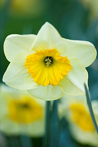 COUGHTON_COURT__WARWICKSHIRE_RARE_THROCKMORTON_DAFFODIL__NARCISSI_THE_BENSON_SPRING__YELLOWLEMON_FLO
