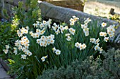 GRAVETYE MANOR  SUSSEX: BORDER BY WALL WITH NARCISSIS - DAFFODILS