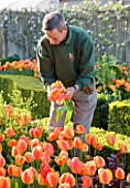 ARUNDEL CASTLE  WEST SUSSEX - HEAD GARDENER MARTIN DUNCAN PICKING APELDOORNS ELITE TULIPS