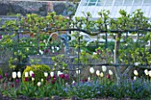 ARUNDEL CASTLE GARDENS, WEST SUSSEX: THE WALLED GARDENS;  THE ORGANIC KITCHEN GARDEN - ESPALIERED APPLES WITH NEGRITA AND FRANCOISE TULIPS