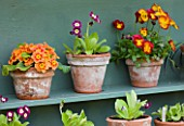 EASTON WALLED GARDEN  LINCOLNSHIRE: DETAIL OF PAINTED DUCK-EGG BLUE SHELF WITH AURICULA THEATRE - AURICULAS IN TERRACOTTA POTS. SPRING. FLOWERS.