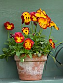 EASTON WALLED GARDEN  LINCOLNSHIRE: DETAIL OF RED AND YELLOW AURICULA IN TERRACOTTA POT ON BLUE PAINTED SHELF IN AURICULA THEATRE. SPRING. FLOWERS