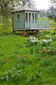 EASTON WALLED GARDEN  LINCOLNSHIRE: BEATIFUL PAINTED WOODEN SUMMERHOUSE WITH DRIFTS OF NARCISSUS POETICUS RECURVUS AND NATURALISED RED TULIPS. SPRING. DAFFODILS  FLOWERS